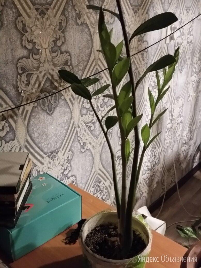 комнатные цветы по цене 300₽ - Комнатные растения, фото 0
