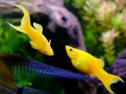 Аквариумные рыбки - Рыбки моллинезии желтые , 0