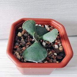 Комнатные растения - Адромискус Купера. Adromischus cooperi. Суккулент, 0