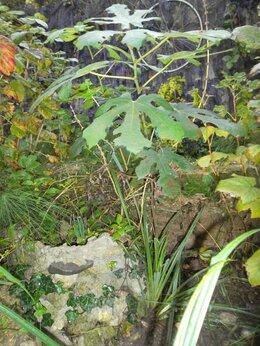 Рассада, саженцы, кустарники, деревья - Саженцы Инжира, 0
