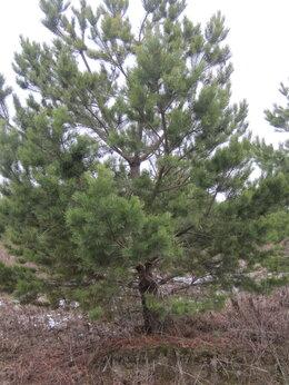 Рассада, саженцы, кустарники, деревья - Сосна 0.5 - 8м, только опт от 50шт, освобождаем…, 0