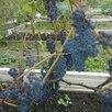 Саженцы винограда Северо - Западного региона по цене 200₽ - Рассада, саженцы, кустарники, деревья, фото 3