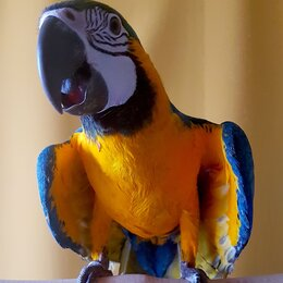 Птицы - Ручные птенцы сине желтый ара из питомника, 0