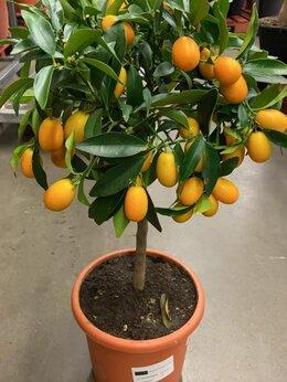 Комнатные растения - Многоплодный цитрус Кумкват, 0