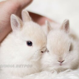 Кролики - Кролик декоративный карликовый минор, 0
