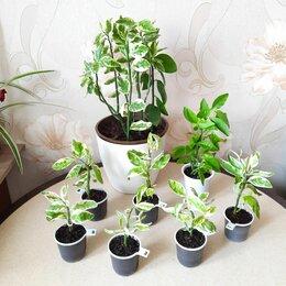 Комнатные растения - Педилантус Титималоидный Суккулент из…, 0