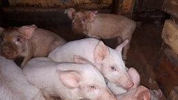 Сельскохозяйственные животные - Поросята , 0