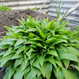Луковичные растения - Хоста прямолистная и подорожниковая, 0