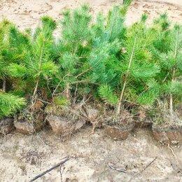 Рассада, саженцы, кустарники, деревья - Сосна Ель Береза саженцы с доставкой и посадкой , 0