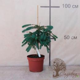 """Комнатные растения - Ель Энгельмана """"Virgata"""" (KLH/С5/40-60 см////), 0"""