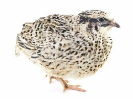 Сельскохозяйственные животные - Яйцо породистых перепелов, 0
