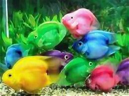 Аквариумные рыбки - Рыбка Попугай Пурпурный (Purple Parrot Cichlid), 0