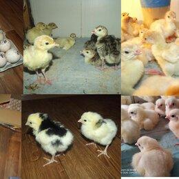 Сельскохозяйственные животные и птицы - Кур молодок,Цыплят,Бройлеров,Индюшат , 0