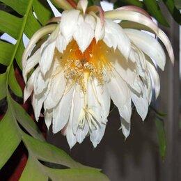 Комнатные растения - Эпифиллум (Селеницереус) Марниера Хризокардиум, 0