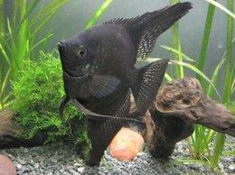Аквариумные рыбки - СКАЛЯРИЯ ЧЁРНАЯ - ЗАМОРОЖЕННЫЕ И СУХИЕ КОРМА, 0