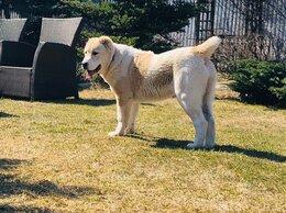Собаки - САО-красотка Тажигуль Будур, 0
