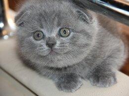 Кошки - вислоухие котята, 0