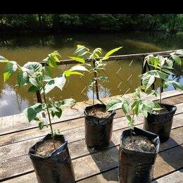 Рассада, саженцы, кустарники, деревья - Черный орех саженцы (ЗКС) трёхлетние, двухлетние, 0