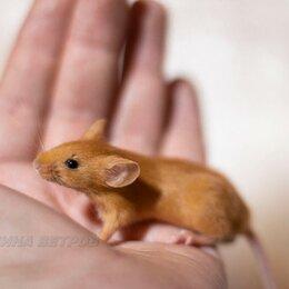 Грызуны - Декоративные мыши различных окрасов, 0