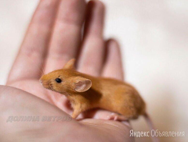 Декоративные мыши различных окрасов по цене 1500₽ - Грызуны, фото 0