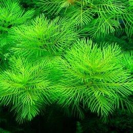 Растения для аквариумов и террариумов - Перистолистник Матогросский Зеленый живое растение для аквариума, 0