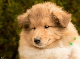 Собаки - щенки колли, 0