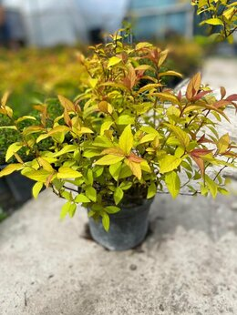 Рассада, саженцы, кустарники, деревья - Спирея японская Файерлайт, 0