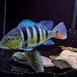 Аквариумные рыбки - Цихла азул, 0