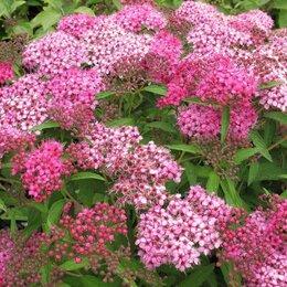 Рассада, саженцы, кустарники, деревья - Спирея японская, розовая., 0