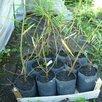 Ива Шверина улучшенная  по цене 198₽ - Рассада, саженцы, кустарники, деревья, фото 5