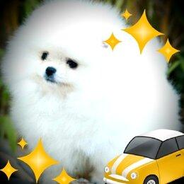 Собаки - Щенки шпица, 0