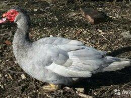 Птицы - Инкубационное яйца утки, 0