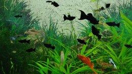 Аквариумные рыбки - Моллинезия лирохвостая, 0