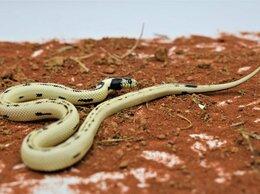 Рептилии - Калифорнийская змея самец, 0