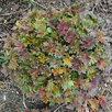 Герань садовая. по цене 100150₽ - Рассада, саженцы, кустарники, деревья, фото 2
