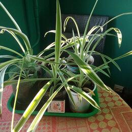 Комнатные растения - хлорофитум укорененные растения в стаканчике, 0