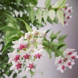 Комнатные растения - Хойя Белла, 0