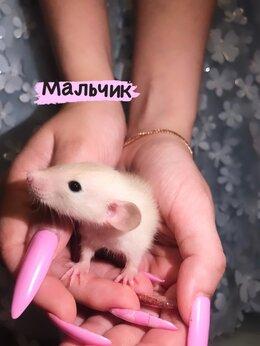 Грызуны - Крысята дамбо, 0