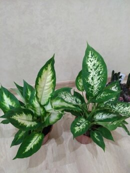 Комнатные растения - Диффенбахия, 0