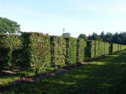 Рассада, саженцы, кустарники, деревья - Боярышник сливолистный живая изгородь |…, 0