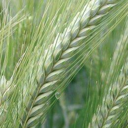 Семена - Продам семена яровая тритикале - сорт НОРМАНН (ОС-РС), 0