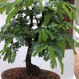 Рассада, саженцы, кустарники, деревья - Тамаринд-мармеладное дерево, 0