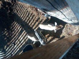 Сельскохозяйственные животные - Поросята венгерская мангалица 1,5 месяца…, 0