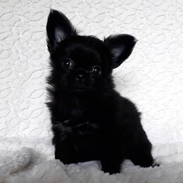 Собаки - Чихуахуа щенок Черный Принц, 0