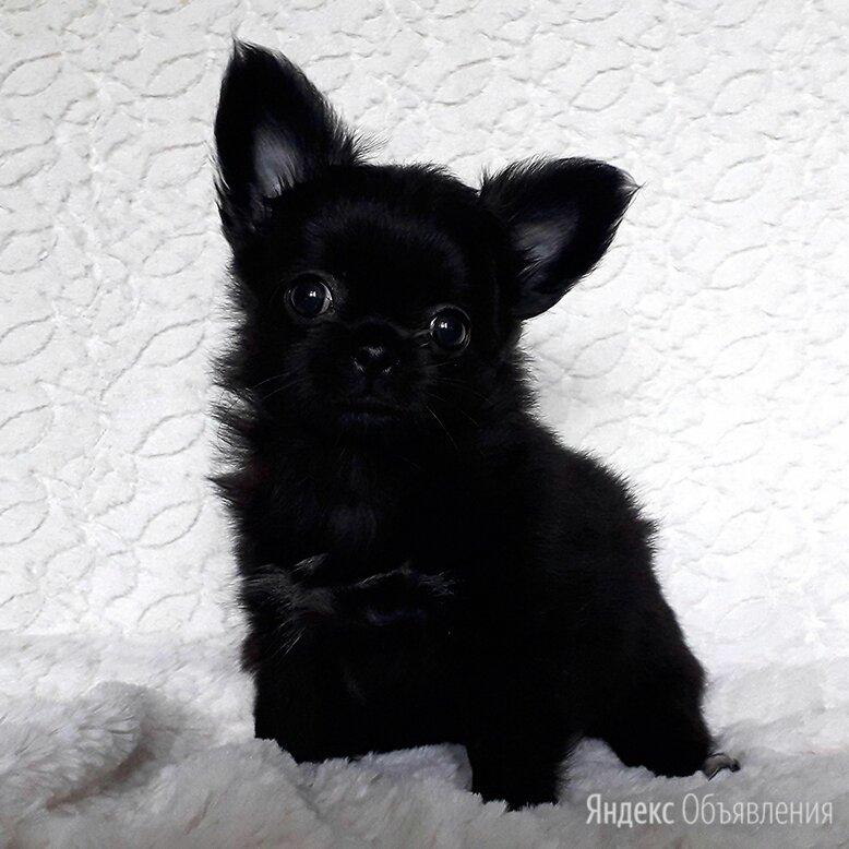 Чихуахуа щенок Черный Принц по цене 85000₽ - Собаки, фото 0