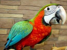 Птицы - Попугай ара арлекин - ручные птенцы из питомника, 0