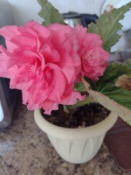 Комнатные растения - Бегония клубневая, 0