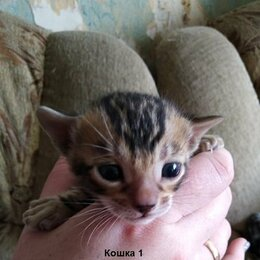 Кошки - Бенгалы, 0