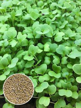 Семена - Семена Микрозелени горчицы , 0