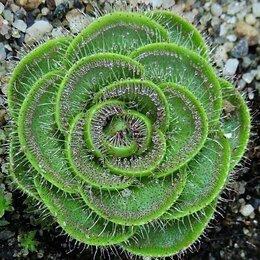 Комнатные растения - Комнатные растения - хищники (Мухоловка,…, 0
